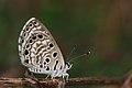 கருவேல நீலன் - African Babul Blue - Azanus jesous.jpg
