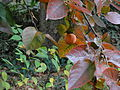 カキノキ(柿の木)(Diospyros kaki Thunb.)-実 (5845080334).jpg