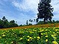 ケヤキの木とマリーゴールド (Tottori Hanakairo Flower Park in summer) 15 Jul, 2012 - panoramio.jpg
