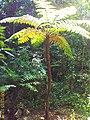 五华大田镇 三亿多年的活化石:桫椤树 - panoramio.jpg