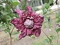 南歐鐵線蓮 Clematis viticella Purpurea Plena Elegans -牛津大學植物園 Oxford Botanic Garden- (9204822701).jpg