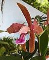 卡特蘭屬 Cattleya granulosa (vermelha Rota do Sol x vermelha) -香港青松觀蘭花展 Tuen Mun, Hong Kong- (26161979844).jpg