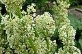 大黃屬 Rheum hybridum -比利時 Ghent University Botanical Garden, Belgium- (9227007053).jpg
