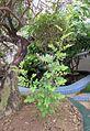 插枝57天后长成的蔷薇苗.JPG