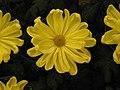 日本一文字菊-月見之宴 Chrysanthemum morifolium Japanese-ribbon-series -台北士林官邸 Taipei, Taiwan- (9216081836).jpg