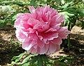 日本牡丹-島根聖代 Paeonia suffruticosa Shimane-seidai -日本大阪長居植物園 Osaka Nagai Botanical Garden, Japan- (41663527464).jpg