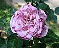 月季-完美香氣 Rosa Perfume Perfection -深圳人民公園 Shenzhen Renmin Park, China- (42112367754).jpg