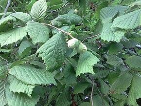 branches de noisettiers avec feuilles et fruits
