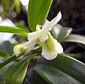 石斛蘭屬 Dendrobium oligophyllum -香港嘉道理農場 Kadoorie Farm, Hong Kong- (9670264347).jpg