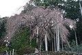 秋葉神社のしだれ桜 - panoramio.jpg