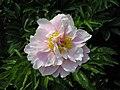 芍藥-粉藍玉 Paeonia lactiflora 'Pinkish Blue Jade' -北京景山公園 Jingshan Park, Beijing- (12380582974).jpg
