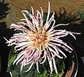 菊花-雀舌型 Chrysanthemum morifolium Bird-tongue-tubular-series -香港雲泉仙館 Ping Che, Hong Kong- (9255245592).jpg
