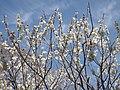 観心寺にて 2013.3.15 - panoramio.jpg