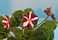 非洲紫羅蘭 Saintpaulia Ko's Chortle -香港北區花鳥蟲魚展 North District Flower Show, Hong Kong- (31766050061).jpg