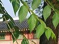 비술나무 잎가지.JPG