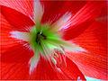 000006 Image Amaryllis Blüte.jpg