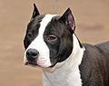 01 American Staffordshire terrier.jpg