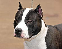 Image result for staffordshire terrier