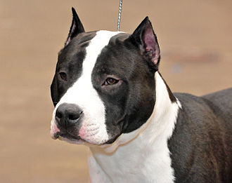 American Staffordshire Terrier - American Staffordshire Terrier with cropped ears