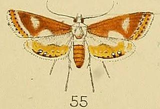 <i>Aulacodes</i> genus of insects