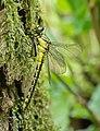 14 05 2015 Gomphus vulgatissimus - Common Clubtail - Gemeine Keiljungfer 05.jpg