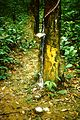 1985 Rubber Tree in Johor Malaysia. Spielvogel Archiv.JPG
