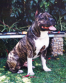 2. American Staffordshire Terrier.png