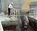 2002年长春动植物园 河马 hippo - panoramio.jpg