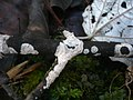 2011-12-13 Exidiopsis effusa Bref 189551.jpg