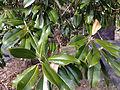 2014-12-30 13 03 12 Southern Magnolia foliage and fruit husk along Lake Boulevard in Ewing, New Jersey.JPG