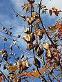 20141107Koelreuteria paniculata3.jpg