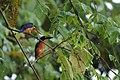 2014 Borneo Luyten-De-Hauwere-Bird-12.jpg