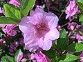 2015-05-12 10 54 34 Azalea 'Rosebud' flower on Terrace Boulevard in Ewing, New Jersey.jpg