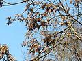 20170123Ailanthus altissima2.jpg