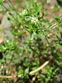 20170522Arenaria serpyllifolia4.jpg
