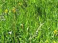 2018-05-13 (234) Tragopogon pratensis (Jack-go-to-bed-at-noon) at Bichlhäusl in Frankenfels, Austria.jpg