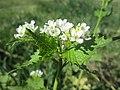 20200422Alliaria petiolata1.jpg