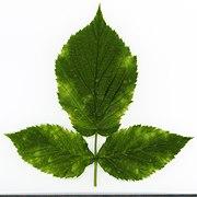 2020 year. Herbarium. Rubus idaeus. img-044.jpg