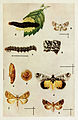 30-Indian-Insect-Life - Harold Maxwell-Lefroy - Noctuidae.jpg
