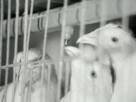 File:56.000 kippen leggen 40.000 eieren per dag.ogv