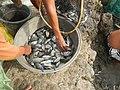 5798Isla Babatnin Malolos Bulacan Harvesting Fishes 22.jpg