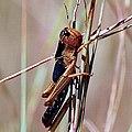 5 Migratory locust Locusta migratoria.jpg