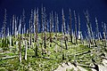 A062, Mount Saint Helens National Volcanic Monument, Washington, USA, stripped trees, 2002.jpg