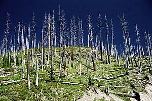 Mount St. Helens National Volcanic Monument - Stripped trees near Windy Ridge