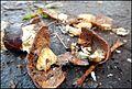 A Lille Marrons d'Inde toxiques écrasés toxic Common Horse Chestnut 05.jpg