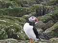 A Puffin on Staple Island - geograph.org.uk - 1059932.jpg