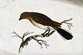 A bird, possibly a type of warbler. Coloured etching. Wellcome V0022377.jpg