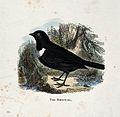 A bird; a ring-ouzel (Turdus torquatus). Coloured engraving Wellcome V0022225ER.jpg