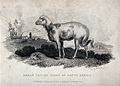 A broad tailed sheep from South Africa. Engraving by McGahey Wellcome V0021684.jpg