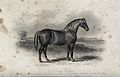 A cart-horse standing on a meadow. Etching by J. Scott after Wellcome V0021747.jpg